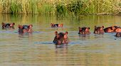 Group of hippopotamus (Hippopotamus amphibius) in water, southern Africa
