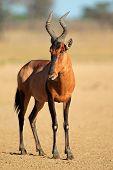 Red hartebeest (Alcelaphus buselaphus), Kalahari desert, South Africa