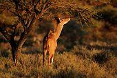 Feeding kudu antelope (Tragelaphus strepsiceros), South Africa