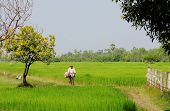 A farmer riding bicycle in the rice field