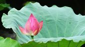 Lotus flower at sun rise.