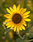 picture of heliotrope  - Wild Sunflower backlit by setting sun - JPG
