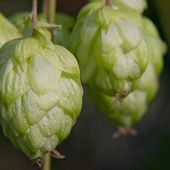 stock photo of bine  - Ripe green hop cone taken closeup - JPG