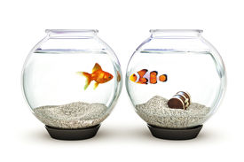 stock photo of fishbowl  - Goldfish and clown fish showing curiosity - JPG