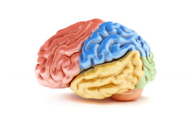 picture of frontal lobe  - Colored sections of a human brain on a white background - JPG