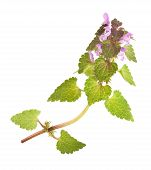 stock photo of nettle  - Nettle with flowers isolated on white background - JPG