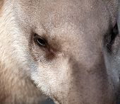 picture of tapir  - tapir closeup portrait with funny nose profile - JPG