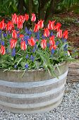 Red Striped Tulips In Planter
