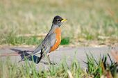 American Robin At The Park