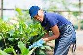 beautiful afro american woman working in nursery garden