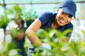stock photo of trimmers  - young african female nursery worker working inside greenhouse - JPG