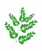 A Fresh Moringa Leaves on White Background
