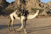 picture of hump day  - Funny two humped camel in desert Egypt - JPG