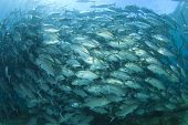 image of bigeye  - Huge School of Bigeye Trevally fish  - JPG