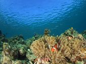 Coral reef and Clown Anemonefish