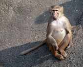Female Monkey