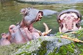 feeding of hippopotamuses