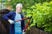 Portrait Of Senior Man Gardener Pruning A Hedge