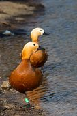 stock photo of ruddy-faced  - two birds red duck Ogar going to swim in a pond - JPG