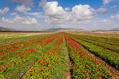 stock photo of golan-heights  - Beautiful landscape of the flowers field on Galillee and Golan Heights - JPG