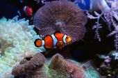 stock photo of clown fish  - Colorful clown fish swimming over anemones and sea plants at the ocean bed
