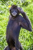 picture of baby spider  - ateles geoffroyi vellerosus spider monkey central america - JPG
