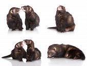 picture of ferrets  - set of ferrets on white background together - JPG