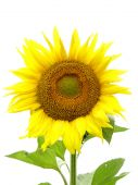 stock photo of libido  - sunflower close up on a white background - JPG