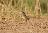 Male Bluethroat (luscinia Svecica)