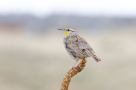 stock photo of western nebraska  - Western Meadowlark - JPG