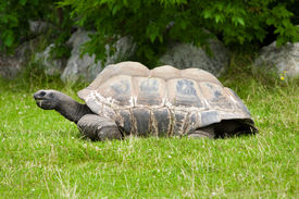 picture of the hare tortoise  - the Galapagos giant tortoise on the grass - JPG