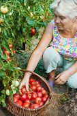 Woman Reaps A Crop Of Tomatoes In August