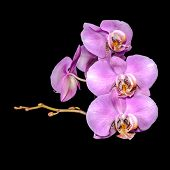 Beautiful Gentle Lilac Branch Orchid, Phalaenopsis On Black Background, Closeup