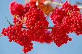 stock photo of mountain-ash  - Clusters of a red mountain ash against the sky - JPG