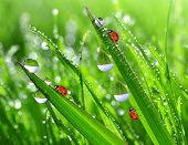 dew drops and ladybugs