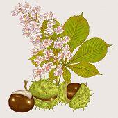 Blossom Chestnut Botanical Vector Illustration