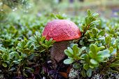 orange cap boletus