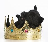 picture of scottish terrier  - regal puppy  - JPG