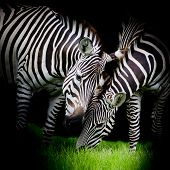 Young Zebra With Mom