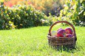 Basket Full Of Freshly Harvested Apples At Orchard