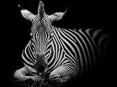 A Headshot Of A Burchell's Zebrao