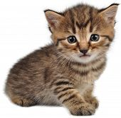 stock photo of puss  - Portrait of small kitten looking at camera - JPG