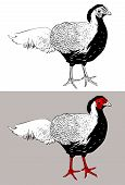 digital drawing of male silver pheasant Lophura nycthemera