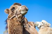 Couple Of Dromedary Camels