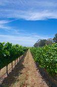 Long Aisle Of Grapes