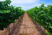 pic of long distance  - Long row of grapes into the distance in a southern California vineyard - JPG
