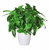 stock photo of pot plant  - gardenia a potted plant isolated over white - JPG