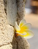 Plumeria flower in the stone wall