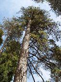 Ponderosa Pine