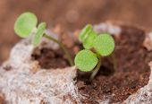 Seedlings growing in a peat moss pellet in spring